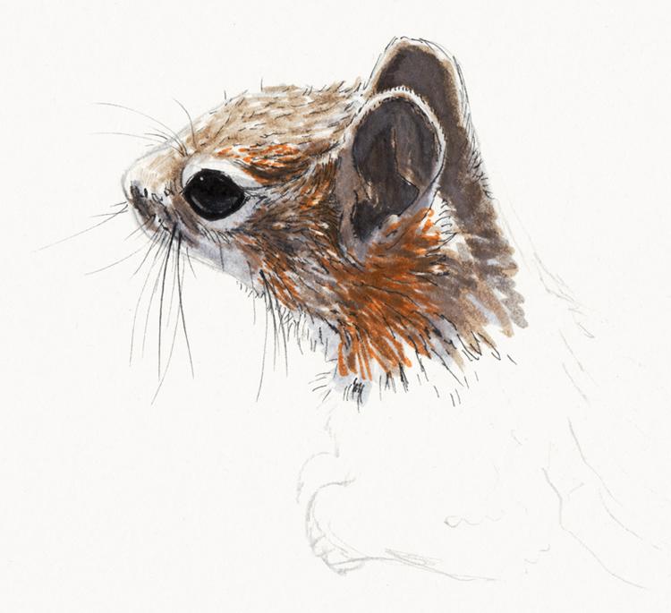Écureuil terrestre à mante dorée