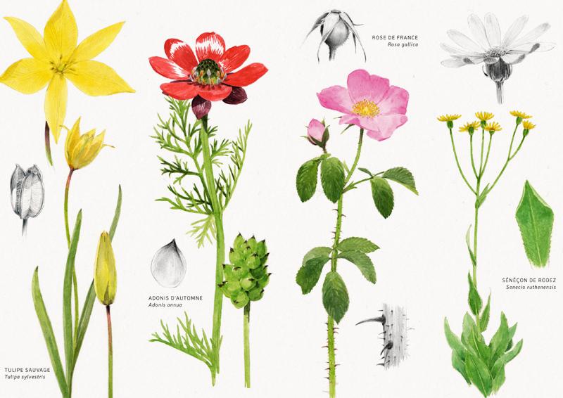 Tulipe, adonis, rose, séneçon