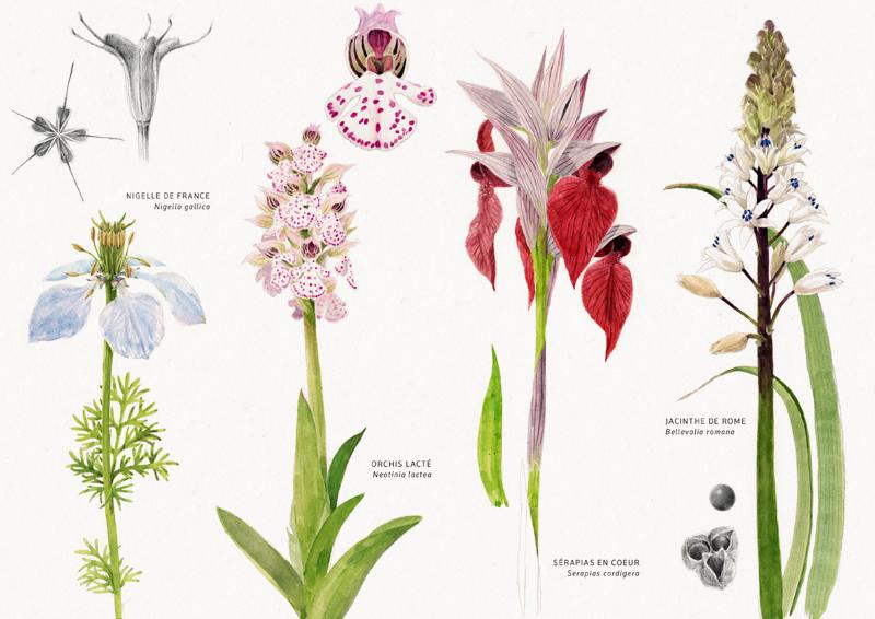 Nigelle, orchis, sérapias, jacinthe