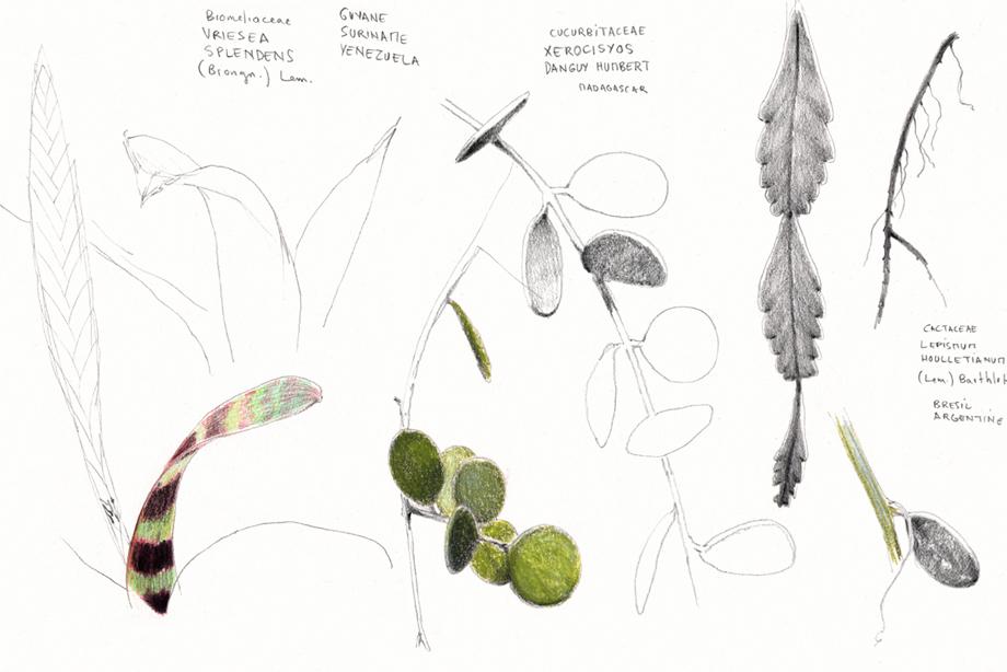 Vriesea / Xerosicyos  / Lepismium