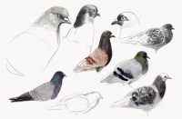19_pigeon.jpg