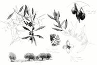 23_olea-europaea-olivier.jpg