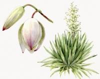 23_yucca-gloriosa.jpg